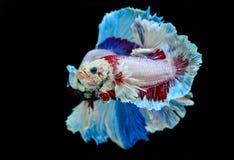 Kampffisch-Halbmondphantasie Lizenzfreie Stockfotografie