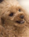 Kampfhund Lizenzfreie Stockfotos