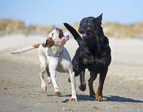Kampfhunde auf dem Strand Stockfoto