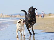 Kampfhunde auf dem Strand Stockfotografie