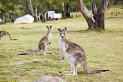 Kampierende wild lebende Tiere Känguru-Australiens lizenzfreie stockfotografie