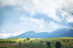 Kampkoeien die in de Karpaten weiden stock afbeelding