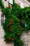 Kampsis blommor hänger från väggen i den gamla staden av Perast Fl fotografering för bildbyråer