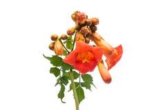 Kampsis de fleur d'isolement Photo libre de droits