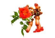 Kampsis de fleur d'isolement Image libre de droits
