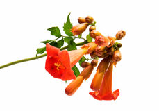 Kampsis de fleur d'isolement Images stock