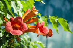 Kampsis de floraison, dans le jardin Photographie stock libre de droits