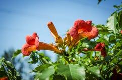 Kampsis de floraison, dans le jardin Photos libres de droits
