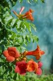 Kampsis de floraison, dans le jardin Image stock