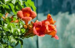 Kampsis de floraison, dans le jardin Images libres de droits