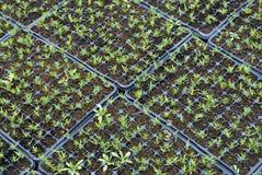 kampusy cyprysowi Fotografia Stock