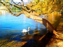 Kamratskapet mellan en svan och ett träd Royaltyfri Foto
