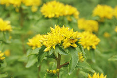 Kamtschat sedum. Yellow Kamtschat sedum flower (Sedum kamtschaticum Stock Images