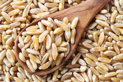 Kamut grain Royalty Free Stock Images