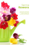 kan att bevattna för blommafjädertulpan Royaltyfri Foto