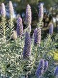 Kan någon berätta mig vad denna kallade purpurfärgade växt? royaltyfri bild