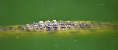 kan också krokodilen som krokodiler brukar den lokaliserade pattaya showthailand watchen dig Arkivbild