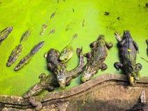 kan också krokodilen som krokodiler brukar den lokaliserade pattaya showthailand watchen dig Royaltyfri Fotografi
