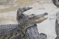 kan också krokodilen som krokodiler brukar den lokaliserade pattaya showthailand watchen dig royaltyfri bild