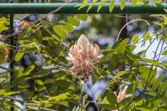 Kan Pai Mahidol-Blume stockbilder