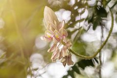 Kan Pai Mahidol flower is a type of vine named Afgekia mahidolae Burtt et Chermsir.A White and purple flower in Thailand. stock photography