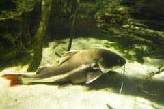 Kanaalkatvis stock afbeelding
