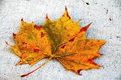 Kanada-Ahornblatt-Fall-Jahreszeit Stockfoto