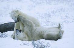 Kanada Churchill isbjörngröngölingar som spelar i snö Arkivfoton