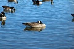 Kanada Gęsi drzemanie na intymnym jeziorze w jarze Teksas obrazy stock