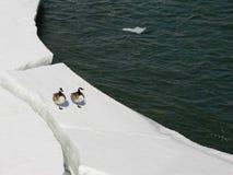Kanada-Gänse auf dem Eis Stockfotos