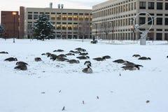 Kanada-Gänse auf Schnee in Indianapolis, Indiana, USA stockbilder