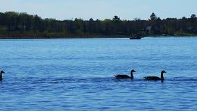Kanada-Gänse, Branta canadensis, in Folge schwimmend auf See Irving in Bemidji Minnesota mit einem Fischerboot im Abstand stock video