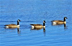 Kanada-Gänse, die in Kalamazoo-Fluss schwimmen lizenzfreies stockfoto