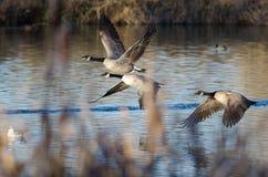 Kanada-Gänse, die niedrig über Autumn Wetlands fliegen lizenzfreie stockfotos