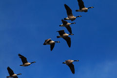 Kanada-Gänse im Flug Stockfotografie