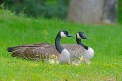 Kanada-Gänse passen mit Babys im grünen Gras zusammen Stockfotos