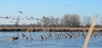 Kanada gäss på det djupfrysta dammet, Peter Exner Nature Preserve Arkivfoto
