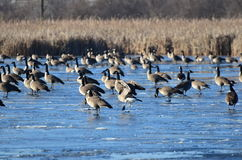Kanada gäss på det djupfrysta dammet, Peter Exner Nature Preserve Arkivbild