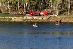 Kanada gäss som flyger över vatten Royaltyfri Fotografi