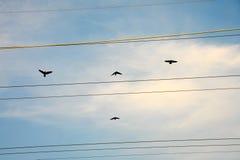 Kanada gäss som flyger till och med kraftledningar Royaltyfri Fotografi