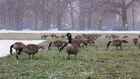 Kanada gäss som matar på gräs under snöstorm Royaltyfri Fotografi