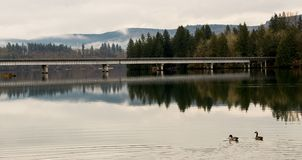 Kanada gäss som simmar på en stilla flod vid bron med reflexion Arkivbild