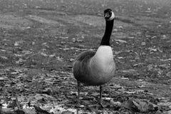 Kanada gås i svartvitt arkivfoton