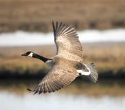 Kanada gås som flyger över våtmarker Arkivbild