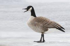 Kanada gås som kallar på en djupfryst flod Arkivbilder