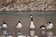 Kanada gås som sjunger för glädje i floden Royaltyfri Bild