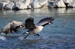 Kanada gås som tar av från en flod Royaltyfria Foton