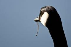 Kanada gås som ut ser över sjön med mat som dinglar från dess mun Royaltyfri Fotografi