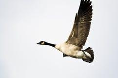 Kanada gåsflyg förbi mot en vit bakgrund Arkivfoto