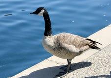 Kanada gąska oprócz społeczności jeziora, Kalifornia, Branta canadensis Obraz Stock